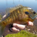 A Case of Disappearing Bluegills