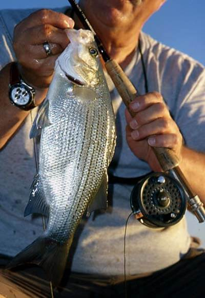 THE SPRING RUN SOUTHERN STYLE: WHITE BASS