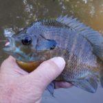Feeder Stream Bluegills