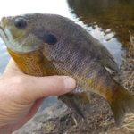Winter Bluegills From a Warm Spell
